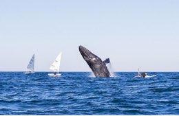 Le balene si allenano con l'Australian Sailing Team